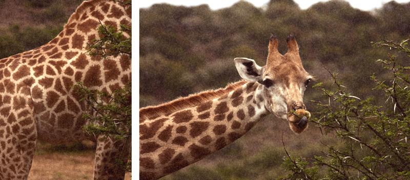 IMG_4577-Editdenstoraresan,-familjen,-safari,-sydafrika